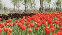 欧洲-【橙色女王节】荷兰一地清新田园9日游【赏郁金香/库肯霍夫/最美书店/森林骑行】