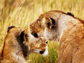 马赛马拉&塞伦盖地两大国家公园<br />长颈鹿庄园&大象孤儿院