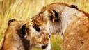 肯尼亚&坦桑尼亚 动物大迁徙9晚11天私享游