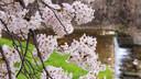 【酒店预售】【太湖赏樱季·夜宿樱花海】无锡鼋头渚赏樱套餐