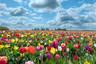 【赏花季】荷兰一地深度10日 库肯霍夫花田骑行 梵高星空之路漫步 羊角村平底船 阿斯米尔鲜花拍卖 奥莱血拼购物